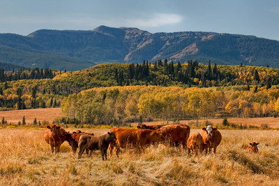"""""""full of promise"""" Autumn in Cattle Country"""